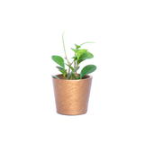 Water & Light Plant Shop Peperomia Obtusifolia Plant in gold pot