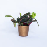 Water & Light Plant Shop Leuconeura Erythroneura Red Maranta Plant in gold pot