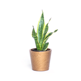 Water & Light Plant Shop Sansevieria Trifasciata Golden Hahnii Snake Plant in gold pot
