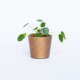 Water & Light Plant Shop Chinese Money Plant in gold pot