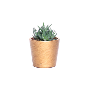 Water & Light Plant Shop Haworthia Fasciata Zebra Aloe Plant in gold pot