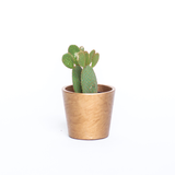 Water & Light Plant Shop Opuntia Microdasys Mickey Mouse Cactus Plant in gold pot