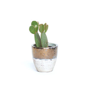 Water & Light Plant Shop Opuntia Microdasys Mickey Mouse Cactus Plant in metallic pot
