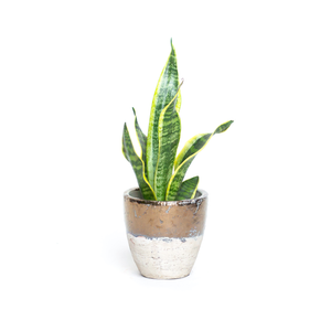 Water & Light Plant Shop Sansevieria Trifasciata Golden Hahnii Snake Plant in metallic pot