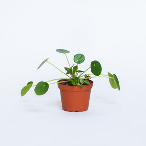 Water & Light Plant Shop Pilea Peperomioides Chinese Money Plant in nursery pot