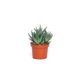 Water & Light Plant Shop Haworthia Fasciata Zebra Aloe Plant in nursery pot