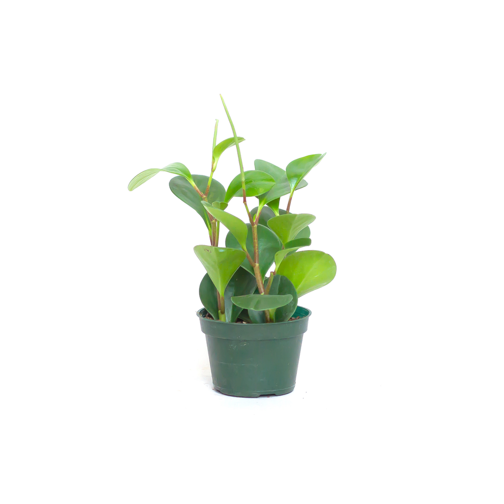 Water & Light Plant Shop Peperomia Obtusifolia Plant in nursery pot