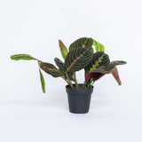 Water & Light Plant Shop Red Maranta Plant in nursery pot