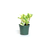 Water & Light Plant Shop Peperomia Obtusifolia Marble Plant in nursery pot