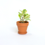 Water & Light Plant Shop Peperomia Obtusifolia Marble Plant in terra cotta pot