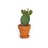Water & Light Plant Shop Opuntia Microdasys Mickey Mouse Cactus Plant in terra cotta pot
