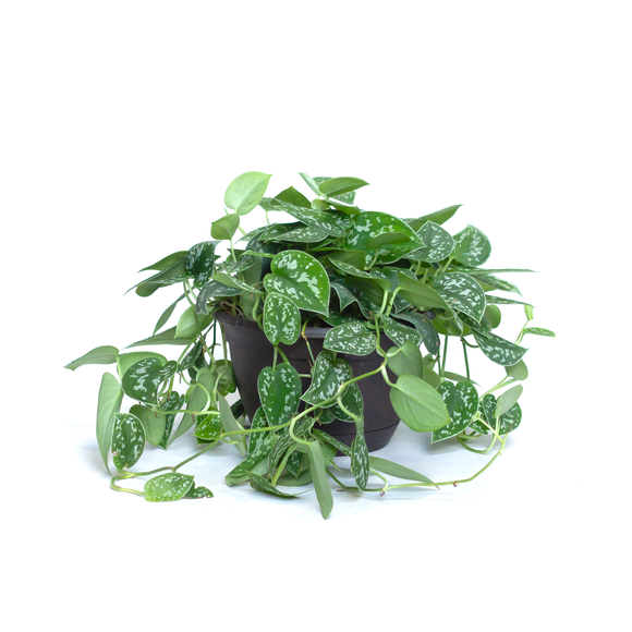 Water & Light Plant Shop Scindapsus Pictus Satin Pothos Plant in nursery pot