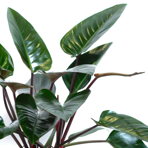 Water & Light Plant Shop Philodendron Congo Rojo leaf detail