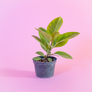Water & Light Plant Shop Ficus Altissima Plant in nursery pot