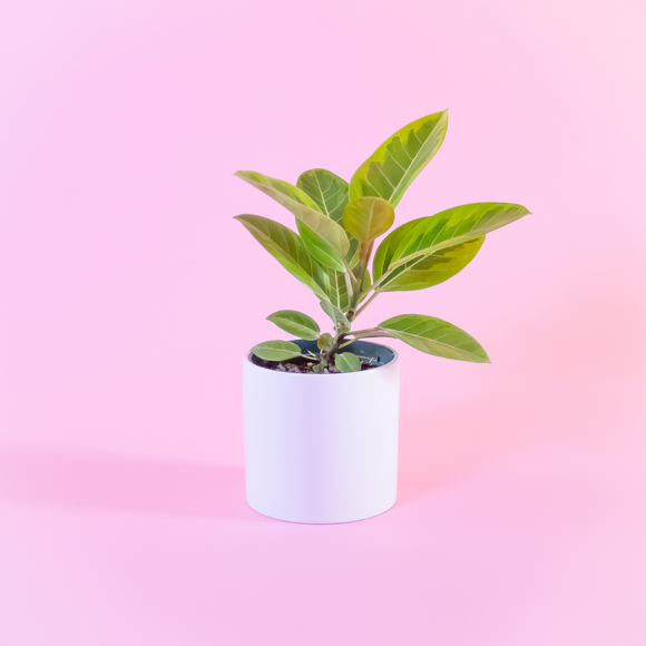 Water & Light Plant Shop Ficus Altissima Plant in white pot