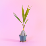Water & Light Plant Shop Cocos Nucifera Coconut Palm Plant in nursery pot