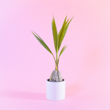 Water & Light Plant Shop Cocos Nucifera Coconut Palm Plant in white pot