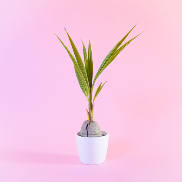 Water & Light Plant Shop Coconut Palm Plant in tapered white pot