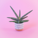 Water & Light Plant Shop Starfish Snake Plant in blue pot