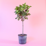 Water & Light Plant Shop Ficus Lyrata Compacta Little Fiddle Leaf Fig Tree Plant in nursery pot