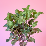 Water & Light Plant Shop Ficus Lyrata Compacta Little Fiddle Leaf Fig Tree Plant foliage