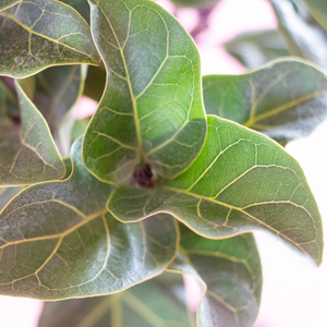 Water & Light Plant Shop Ficus Lyrata Compacta Little Fiddle Leaf Fig Tree Plant leaf detail