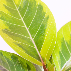 Water & Light Plant Shop Ficus Altissima Plant leaf detail