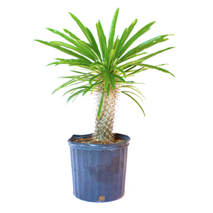 Water & Light Plant Shop Pachypodium Lamerei Madagascar Palm Plant in nursery pot