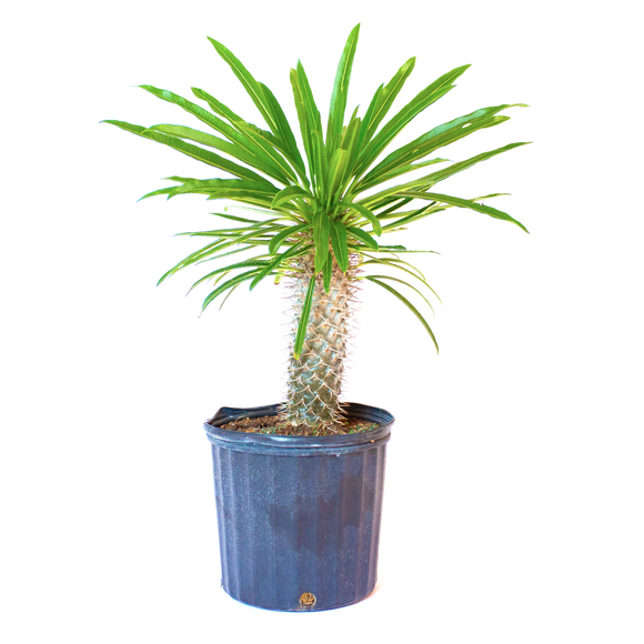 Water & Light Plant Shop Madagascar Palm Plant in nursery pot