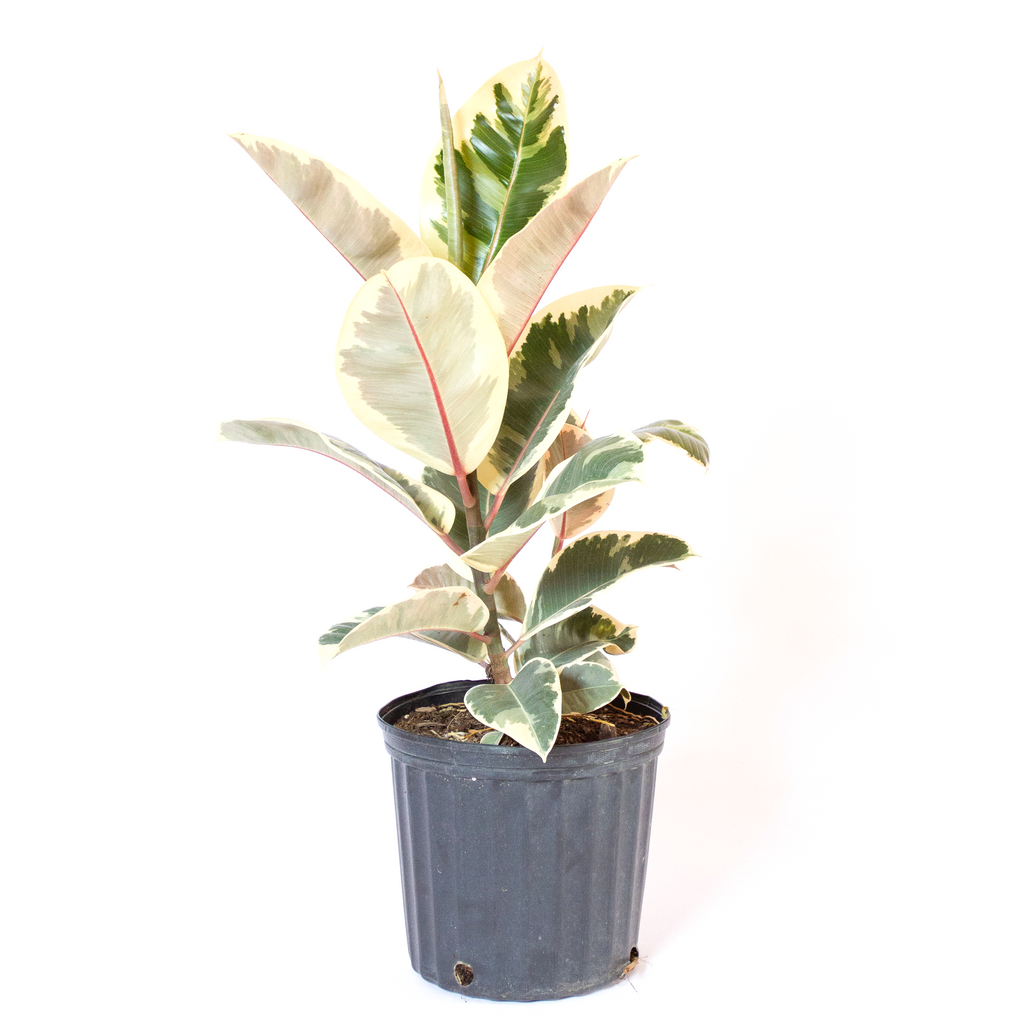 Water & Light Plant Shop Variegated Rubber Plant in nursery pot