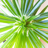 Water & Light Plant Shop Madagascar Palm Plant leaf