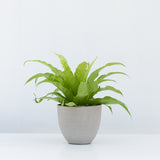 Water & Light Plant Shop Asplenium Nidus Japanese Birds Nest Fern Plant in grey pot