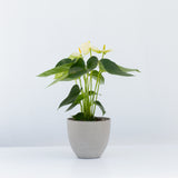 Water & Light Plant Shop White Anthurium Laceleaf Flamingo Flower in grey