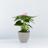 Water & Light Plant Shop Pink Anthurium Laceleaf Flamingo Flower in grey