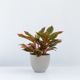 Water & Light Plant Shop Aglaonema Firecracker Red Siam in grey pot