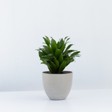 Water & Light Plant Shop Dracaena Janet Craig Compacta Plant in grey pot