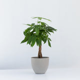 Water & Light Plant Shop Pachira Aquatica Money Plant in grey pot