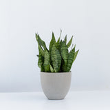 Water & Light Plant Shop Small Sansevieria Black Coral Snake Plant in grey pot