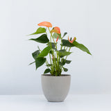 Water & Light Plant Shop Orange Anthurium Laceleaf Flamingo Flower in grey