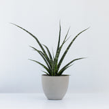 Water & Light Plant Shop Fernwood Snake Plant in grey pot