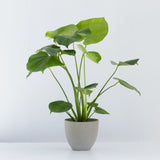 Water & Light Plant Shop Small Philodendron Monstera Deliciosa Plant in grey pot