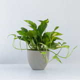 Water & Light Plant Shop Epipremnum Aureum Golden Pothos Plant in grey pot