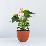 Water & Light Plant Shop Orange Anthurium Laceleaf Flamingo Flower in orange