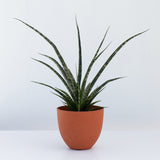 Water & Light Plant Shop Fernwood Snake Plant in orange pot