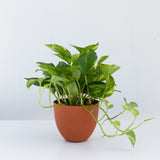 Water & Light Plant Shop Epipremnum Aureum Golden Pothos Plant in orange pot