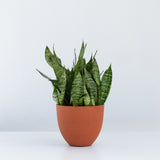 Water & Light Plant Shop Small Sansevieria Black Coral Snake Plant in orange pot