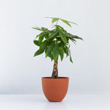 Water & Light Plant Shop Pachira Aquatica Money Plant in orange pot