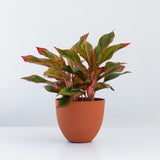 Water & Light Plant Shop Aglaonema Firecracker Red Siam in orange pot
