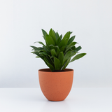 Water & Light Plant Shop Dracaena Janet Craig Compacta Plant in orange pot