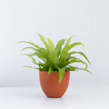 Water & Light Plant Shop Asplenium Nidus Japanese Birds Nest Fern Plant in orange pot
